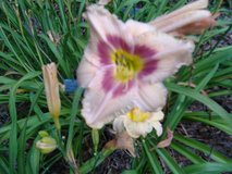 "Daylily ""Eyes of Fury"" in Warner Robins, Georgia"